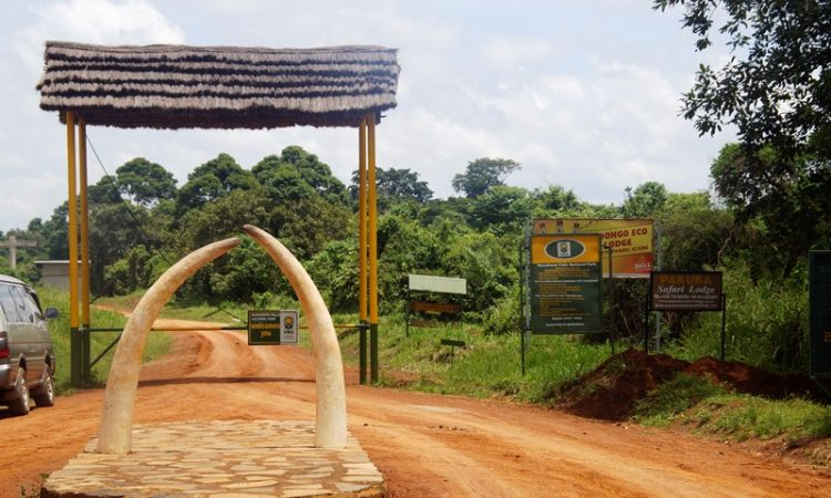 How to get to Murchison falls National Park. The park has about six gates you can use to enter. The park is bisected by the Nile and therefore has the Northern and Southern sections. Both sections have different gates that help you access the park. In the northern section we have the Chobe, Wankwar, Mubako and Tangi gates. These are usually used when coming from the North of Uganda like the areas of Gulu or Kidepo Valley National Park using the Kampala – Pakwach road which crosses the Nile at the Karuma Bridge in the extreme Eastern corner of the park. The gates this side are about 260km from Kampala. We also have the southern section of the park that has the mostly used gates which are the Kichumbanyombo that leads you to pass through Kaniyo Pidi forest as you approach Paraa, this route is about 85km from Masindi town. Still in the Southern section we have the Bugungu gate that leads you to a more scenetic path through the Budongo forest, however this is a much longer route about 135km from Masindi. To approach these gates you can use the Acholibur-Gulu-Olwiyo road and Karuma-Olwiyo-Pakwach-Nebbi-Arua road. Within the park in the Paraa area, there is a vehicle ferry that helps passengers and vehicles cross the Nile, it is scheduled hourly. Another way to get to the Murchison falls National Park is by air. There is an airfield at Pakuba and also Chobe. You can use a chartered flight from either Entebbe International airport of Kajansi airfield. When you reach any point of entrance into the park, you should ensure that you pay the park entry fees, activity fees from the gates with the park officials otherwise you will be penalised on your way out. You should also carry you identification card or passport as you enter the park